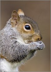 Stampa su plexi-alluminio  Grey squirrel - John Devries