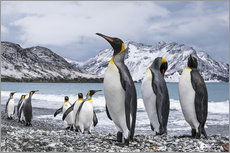 Stampa su plexi-alluminio  Nine King Penguins (Aptenodytes patagonicus), South Georgia, South Georgia and the South Sandwich Is - Deb Garside