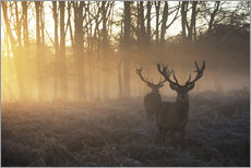 Adesivo murale  Two deer stags in a misty forest in Richmond park, London. - Alex Saberi