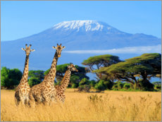 Adesivi murali  Three giraffes in front of Kilimanjaro
