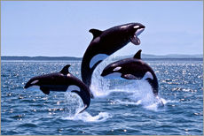 Stampa su plexi-alluminio  Killer Whales, adults and young leaing, Canada - Gérard Lacz
