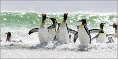 Adesivi murali  King Penguin (Aptenodytes patagonicus) on the Falkand Islands in the South Atlantic. Group of pengui - Cubo Images