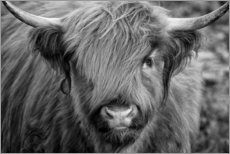 Poster Premium Highlander - Scottish Highland Cattle bianco e nero