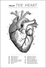 Poster Premium  Il cuore (inglese) - Wunderkammer Collection