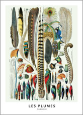 Poster Premium  Piume (francese) - Wunderkammer Collection