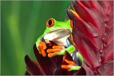 Stampa su plexi-alluminio  Red-eyed tree frog on a leaf - Adam Jones