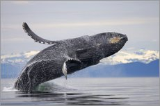 Adesivo murale  Humpback whale in Frederick Sound - Paul Souders