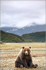 Stampa su plexi-alluminio  Grizzly bear resting against Kinak Bay - Paul Souders