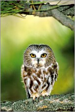 Adesivo murale  Northern saw-whet owl - Dave Welling