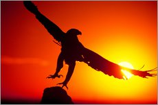 Stampa su plexi-alluminio  A golden eagle flies at dawn - Dave Welling