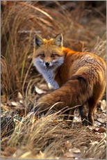 Adesivi murali  Red fox - Cathy & Gordon Illg