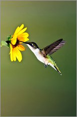 Stampa su plexi-alluminio  Ruby-throated Hummingbird at sunflower - Larry Ditto