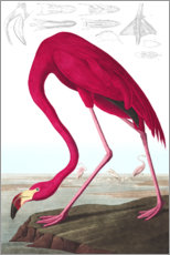 Adesivi murali  American Flamingo, from 'The Birds of America' - John James Audubon