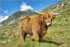 Adesivo murale  Scottish Highland Cattle - Olaf Protze