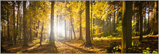 Stampa su plexi-alluminio  Autumn forest backlit with sunshine and yellow autumn leaves - Jan Christopher Becke
