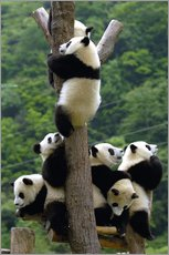 Adesivi murali  Flock of wild panda babies on the climbing tree - Pete Oxford