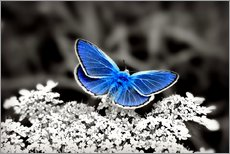 Adesivo murale  Blue butterfly on black colorkey II - Julia Delgado