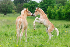 Stampa su plexi-alluminio  Haflinger horses foals playing and rearing - Katho Menden