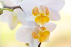 Adesivo murale  White orchids against soft yellow background - Julia Delgado