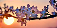 Stampa su plexi-alluminio  Cherry blossoms against evening under the setting sun - Julia Delgado