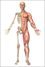 Adesivo murale  The human skeleton and muscular system, front view - Stocktrek Images