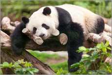 Stampa su plexi-alluminio  Giant panda sleeping - Jan Christopher Becke