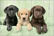 Adesivi murali  Three Labradors - Greg Cuddiford