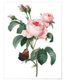 Poster  Rose of a Hundred Petals - Pierre Joseph Redouté