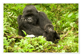 Poster  Eastern Gorilla with baby between leaves - Joe & Mary Ann McDonald