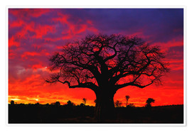 Poster African baobab tree silhouetted at sunset