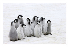 Poster  Emperor penguin chicks on ice - Keren Su