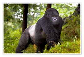 Poster  Mountain Gorilla Akarevuro on tour through the rainforest - Ralph H. Bendjebar