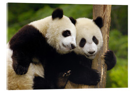 Vetro acrilico  Two young pandas on a tree trunk - Pete Oxford