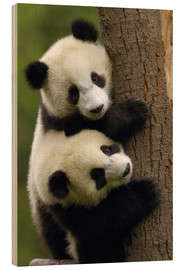 Legno  Giant Panda Babies (Ailuropoda melanoleuca) on a tree trunk - Pete Oxford