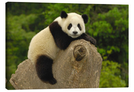 Tela  A panda baby sits on a tree trunk - Pete Oxford