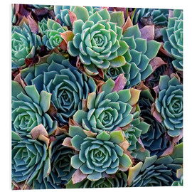 David Wall - Echeverias seen from above