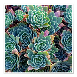 Poster  Echeverias seen from above - David Wall