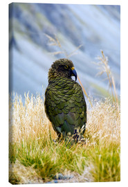 Tela  A Kea sitting in the grass - Fredrik Norrsell