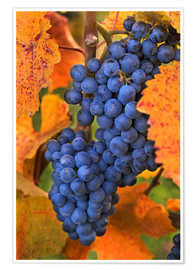 Poster  Grapes with autumn leaves - Janis Miglavs