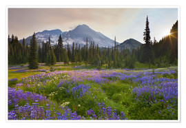 Poster  Lupine in flower meadow at sunrise - Gary Luhm