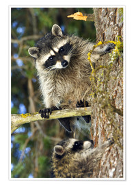 Poster  Raccoons climbing on a tree trunk - Roddy Scheer