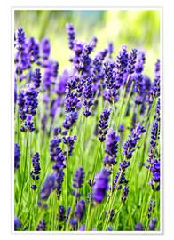 Poster  Close up of lavender flowers in a field - Rob Tilley