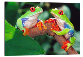 David Northcott - Red Eye Treefrog Pair