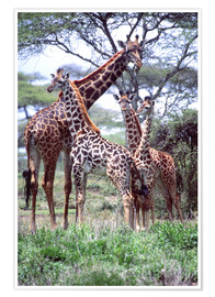 Poster  Giraffe Group - David Northcott