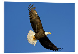 Forex  Bald Eagle in Flight - David Northcott