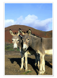 Poster  Two donkeys - Kevin Schafer