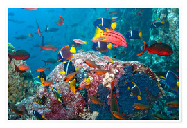 Poster  Galapagos Islands - the underwater world of colorful tropical fish - Paul Souders