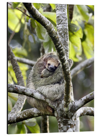 Alluminio Dibond  Three-toed sloth rests in a tree - Don Grall