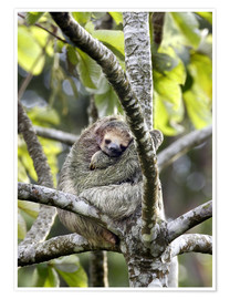 Poster  Three-toed sloth rests in a tree - Don Grall