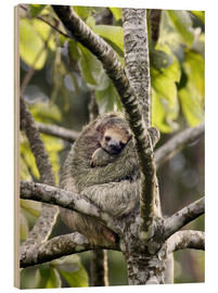 Legno  Three-toed sloth rests in a tree - Don Grall